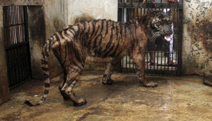 tiger in pathetic condition-Netmarkers