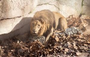 Lions shot dead-Netmarkers
