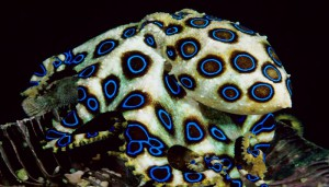 The Blue Ringed Octopus-Netmarkers
