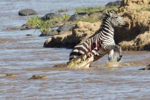 crocodile hunting zebra- netmarkers