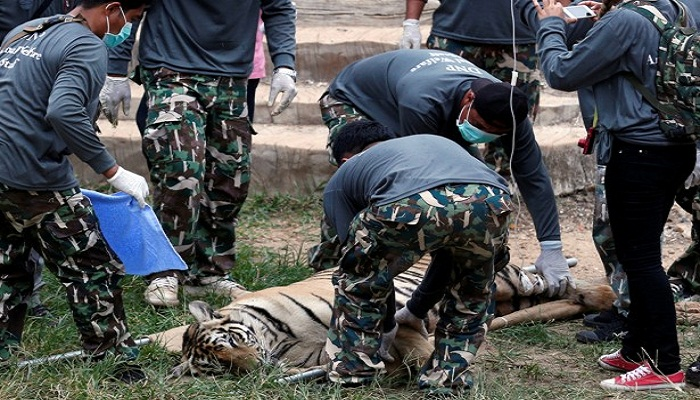 A sedated tiger is stretchered as officials start moving tigers from Thailand's controversial Tiger Temple in Kanchanaburi province