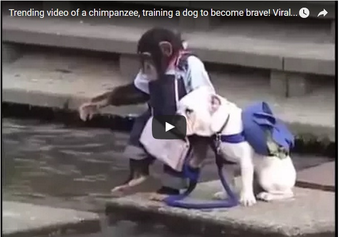 Trending video of a chimpanzee training a dog to become brave. Video gone viral