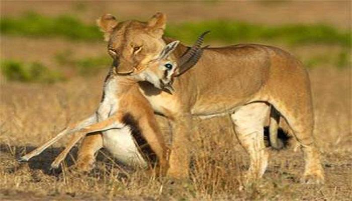 Female-Lion-Hunting-Deer-Netmarkers