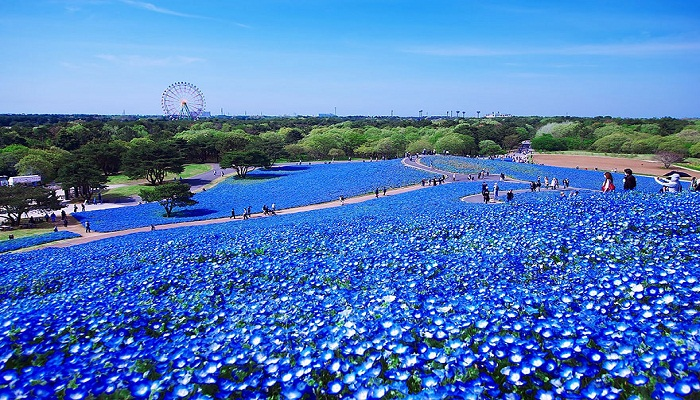 Hitachi Seaside Park in Japan-Netmarkers