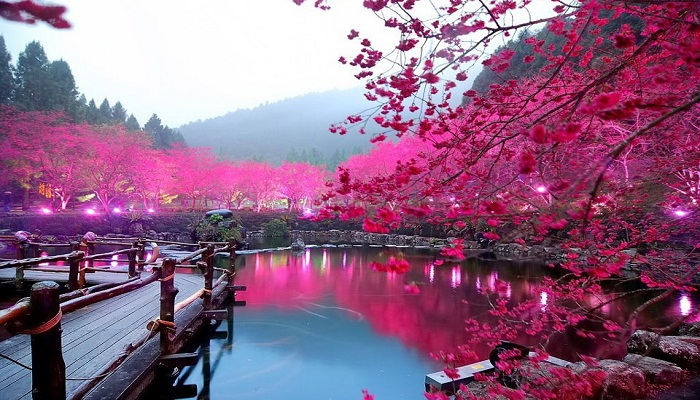 Japan in Cherry Blossom Season-Netmarkers