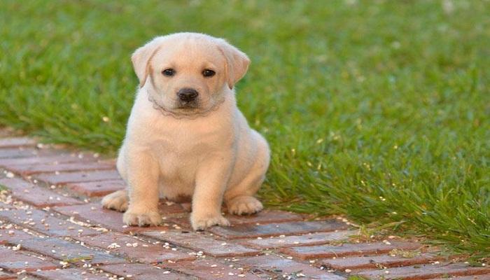 Labrador Retriever-Netmarkers