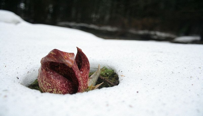 Skunk cabbage-Netmarkers