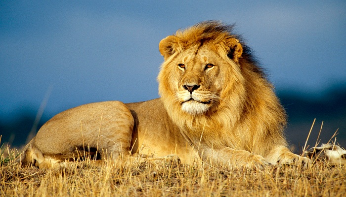 lion-Netmarkers