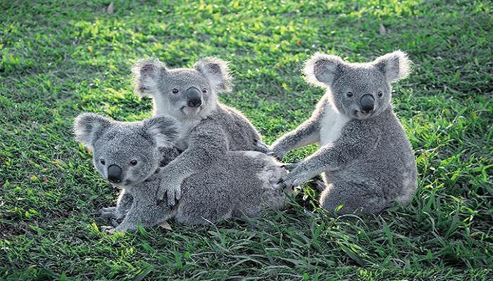 Lone Pine Koala Sanctuary, Brisbane, Australia-Netmarkers