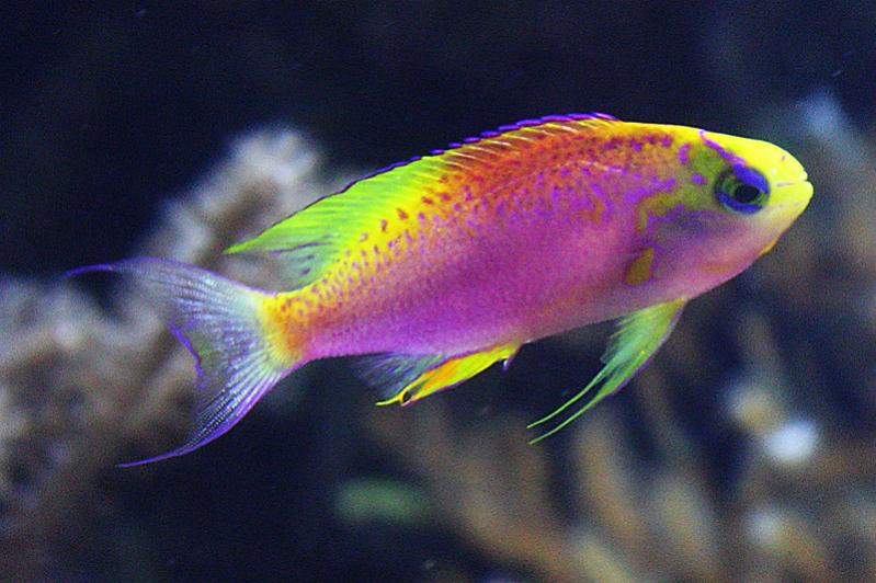 10-most-beautiful-fish-lyretail-anthias-netmarkers