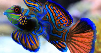 Mandarinfish-most beautiful fish-Netmarkers