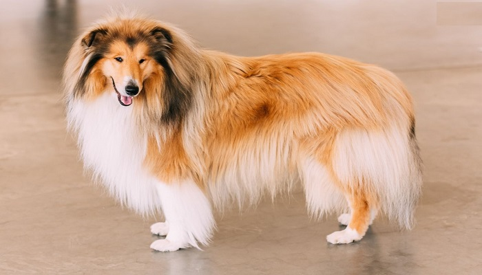 rough-collie-netmarkers
