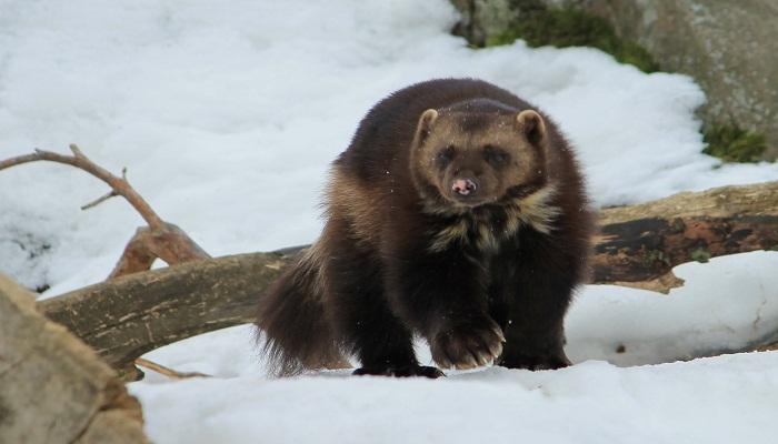 Wolverine (Gulo gulo)-netmarkers