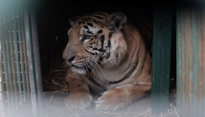tiger in Cage-netmarkers