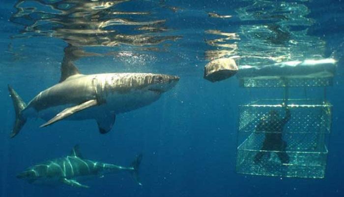 white-shark-Gansbaai-South-Africa-netmarkers