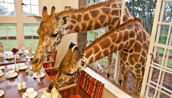 giraffe-hotel-in-kenya-netmarkers