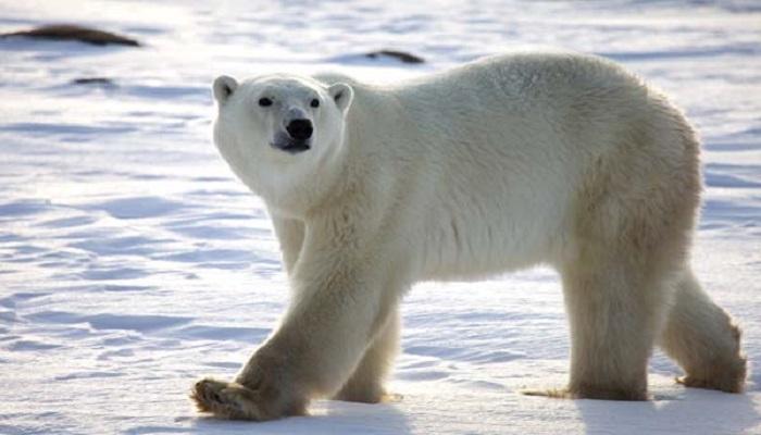 polar-bear-netmarkers