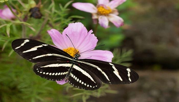 the-zebra-long-wing-netmarkers