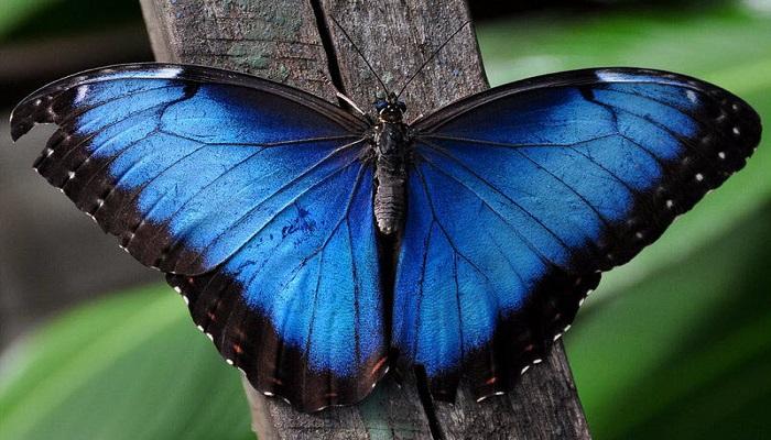 blue-morpho-butterfly-netmarkers