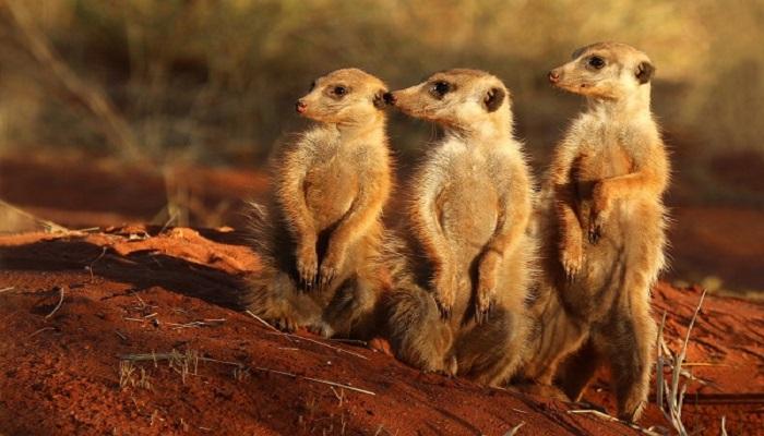meerkats-netmarkers