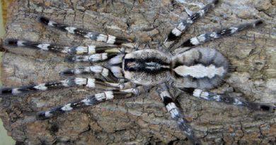 fringed-ornamental-tarantula-poecilotheria-netmarkers