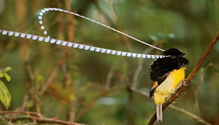 king-of-saxony-bird-of-paradise-netmarkers