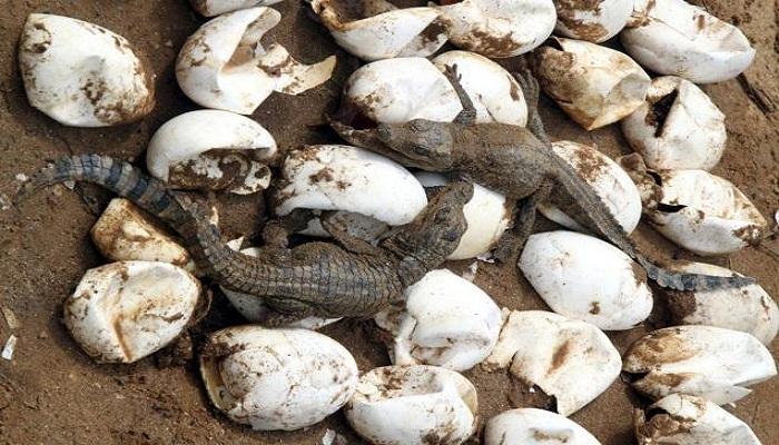 crocodile-eggs-netmarkers