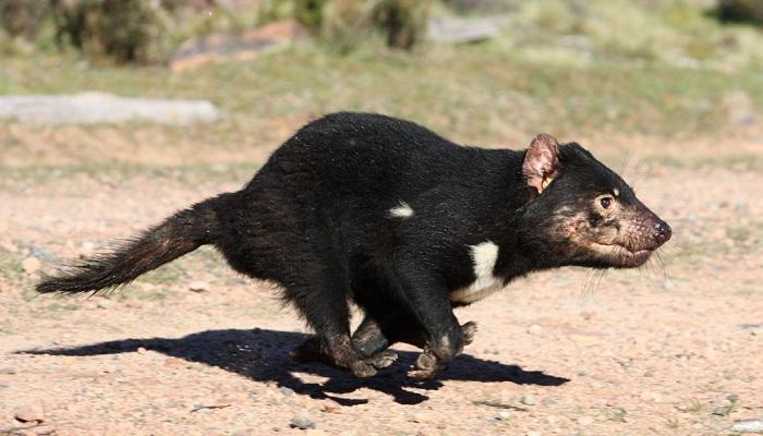 tasmanian-devils-netmarkers