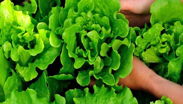 Lettuce-Netmarkers