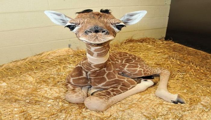 1. Baby giraffe