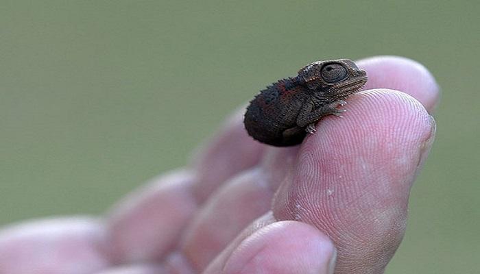 2. baby chameleon netmarkers