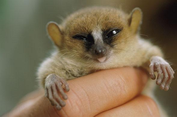Pygmy Mouse Lemur
