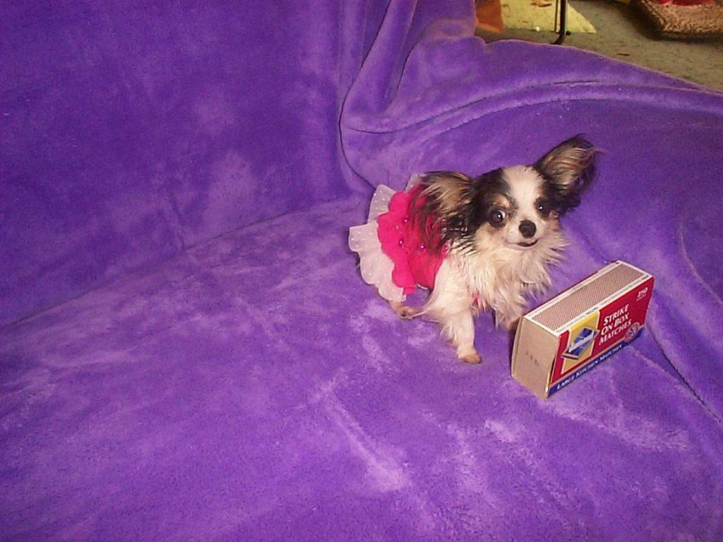 booboo- world's smallest dog