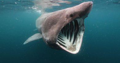 Basking sharks-Netmarkers