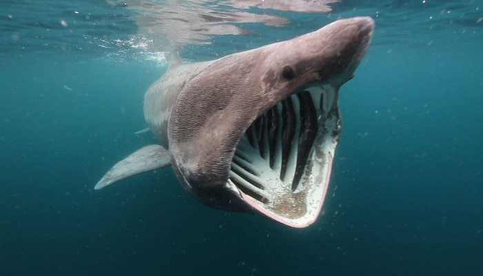 Basking sharks-Netmarkers