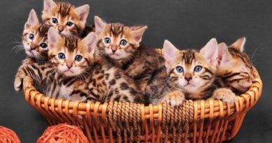 Bengal.Cat-netmarkers