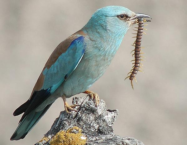 Eurasian roller birds-netmarkers