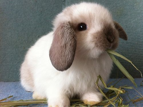 Holland Lop-netmarkers