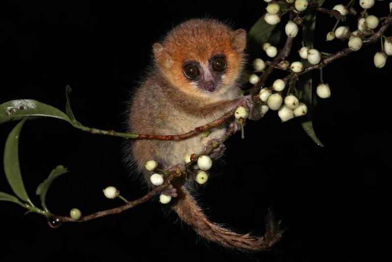 Madame Berthe's Mouse Lemur-netmarkers