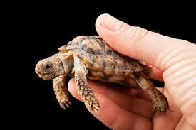 Speckled Padloper Tortoise-netmarkers