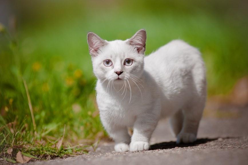 munchkin-cat-netmarkers
