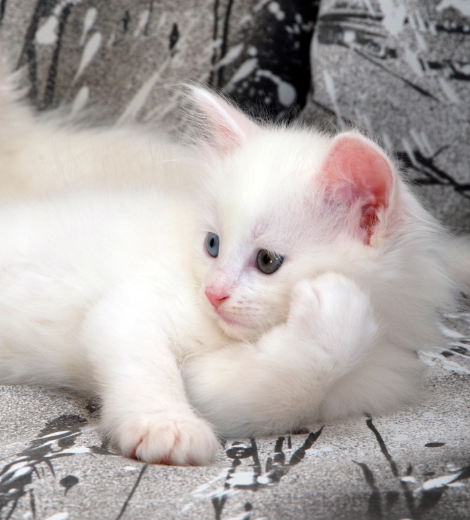 Turkish Angora Cat-netmarkers