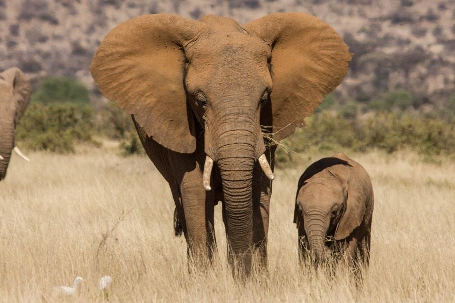 African Elephant-netmarkers