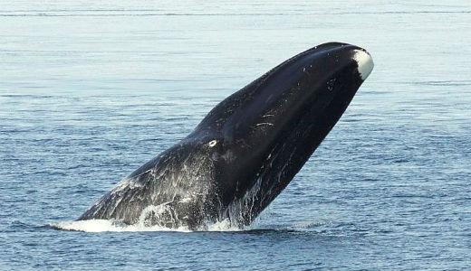 Bowhead_Whale-netmarkers