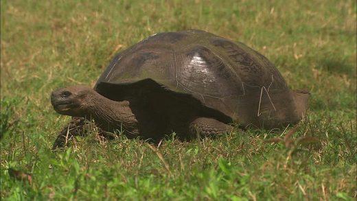 Galapagos-giant-tortoise-netmarkers