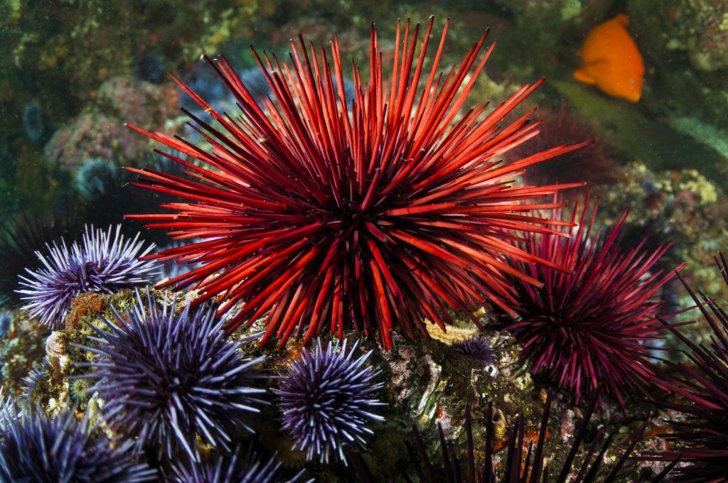 Sea urchin-nermarkers