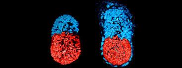 Artificial Embryos-netmarkers