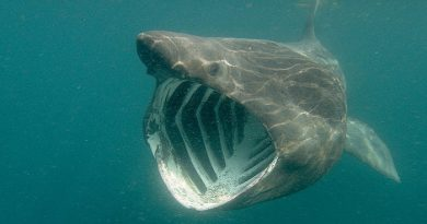 Basking shark-Netmarkers
