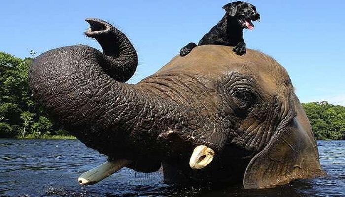 Elephant and Labrador friendship-Netmarkers