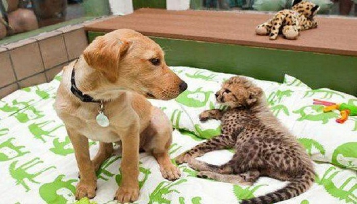Labrador and cheetah friendship-Netmarkers